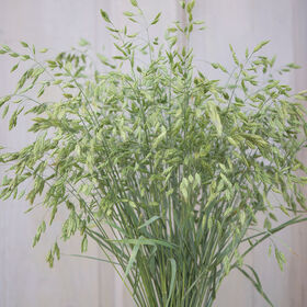 Bromus Grass Grasses, Ornamental