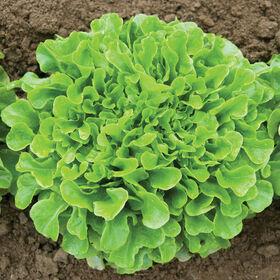 Salanova® Green Oakleaf Salanova® Lettuce