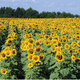 Royal Hybrid® 1121 Sunflower Tall, Single Stem Sunflowers