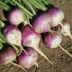 Purple Top Forage Turnips Turnips
