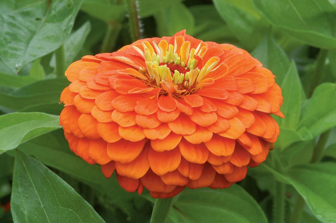Benarys Giant Orange Zinnia Seed Johnnys Selected Seeds
