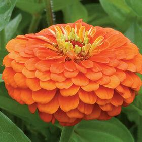 Benary's Giant Orange Benary's Giant Series