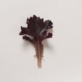 Spritzer Oakleaf Lettuce