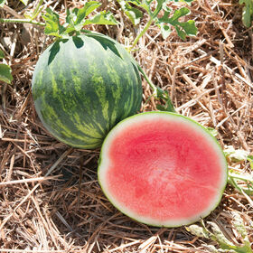 Gentility Triploid Watermelons (Seedless)